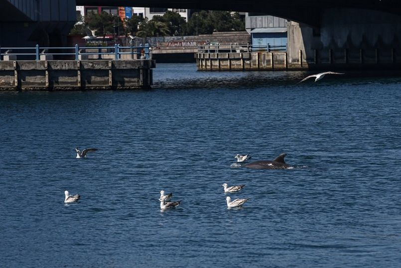 Dolphins reconquer Istanbul's historic peninsula